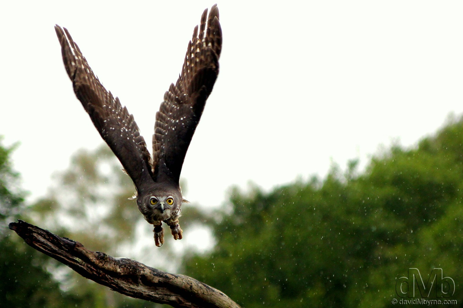 A Barking Owl in flight in light rain at the Lone Pine Koala Sanctuary on the outskirts of Brisbane, Queensland, Australia. April 15th, 2012 (EOS 60D || Tamron 28-75mm || 75mm, 1/1250sec, f/2.8, iso400)